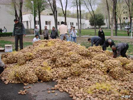 چرا سیب زمینی در جامعه ایران مهم می شود؟